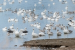 Snow Geese on the water