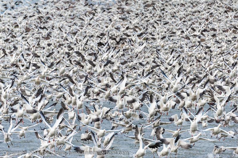 Snow Geese flushing