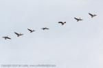Canada Geese flying overhead