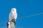 Snowy Owl watching the photographers