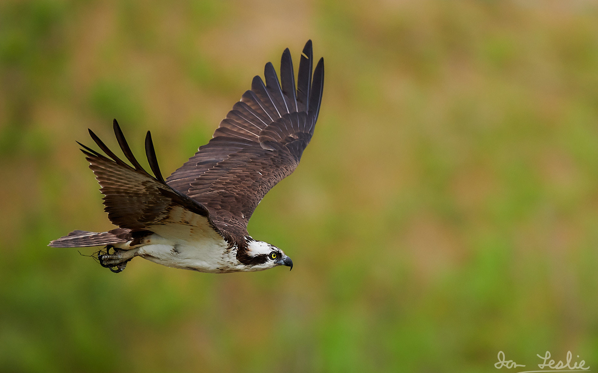 Male Osprey takes flight