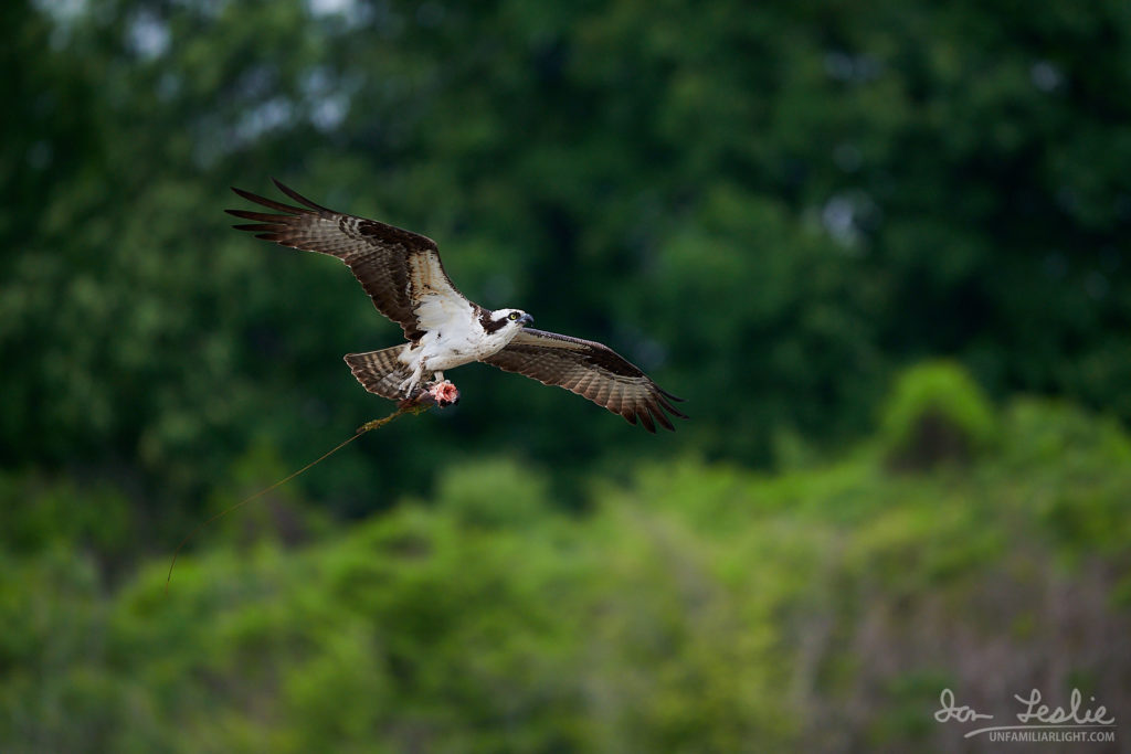 Male Osprey bringing fish to the nest.
