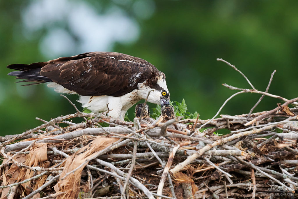 Female osprey feeding her young