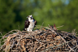 Female nesting Osprey at Iroquois Locks