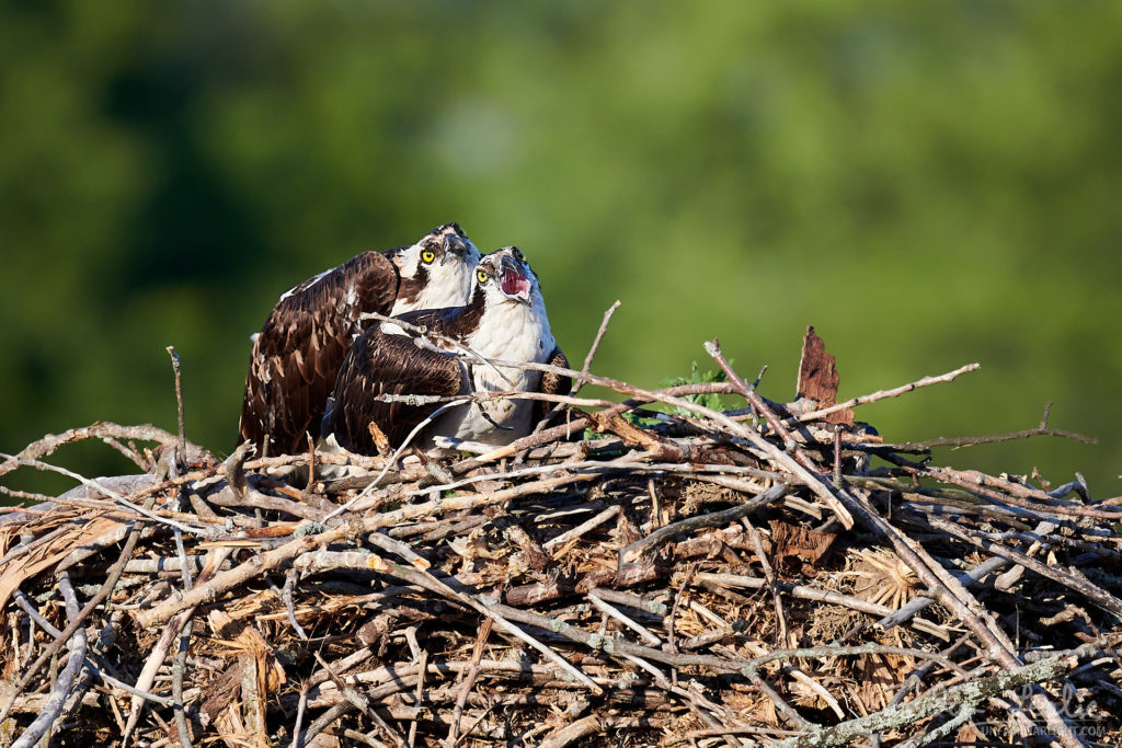 Nesting Osprey at Iroquois Locks