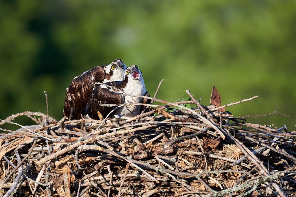 Nesting Osprey at Iroquois Locks